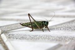 Grön gräshoppa på stenläggningtjock skiva arkivbild
