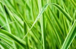 Grön gräsmakroclose upp Arkivbilder