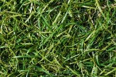 Grön gräsmatta för bakgrund abstrakt sikt för textur för park för lawn för green för bakgrundsstadsgräs Överkant v arkivbild