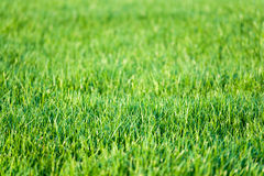 Grön gräsmattagräsbakgrund Royaltyfria Bilder
