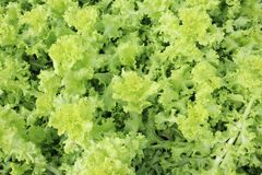 grön grönsak Fotografering för Bildbyråer