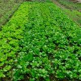 Grön grönsakkoloni, fyrkantigt format Royaltyfria Foton