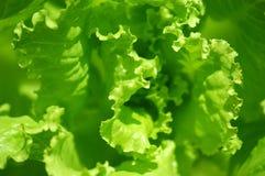 grön grönsallat Arkivbilder