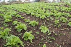Grön grönsallat i lantgårdbakgrund Royaltyfri Fotografi