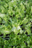 Grön grönsallat Lollo Royaltyfria Bilder