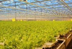 Grön grönsallat på en jordbruks- lantgård Odling i v?xthuset arkivfoto
