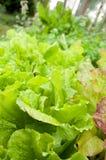 Grön grönsallat på trädgårds- underlag Arkivbilder