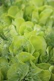 Grön grönsallat som växer på växthus i trädgården Arkivbild