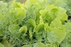 Grön grönsallat som växer på växthus i trädgården Royaltyfri Fotografi