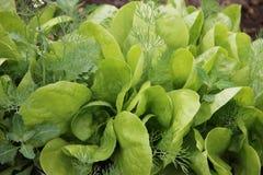 Grön grönsallat som växer på växthus i trädgården Royaltyfria Bilder