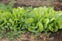 Grön grönsallat som växer på växthus i trädgården Fotografering för Bildbyråer