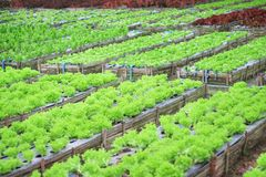 Grön grönsallatsallad i organisk grönsaklantgård fotografering för bildbyråer