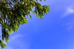 Grön gran på en bakgrund för blå himmel fotografering för bildbyråer