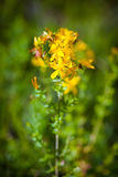 Grön grashopper på gula St Johns blommor Fotografering för Bildbyråer