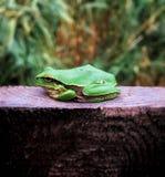 Grön groda royaltyfria bilder