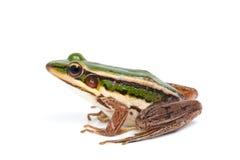 Grön groda Arkivfoto