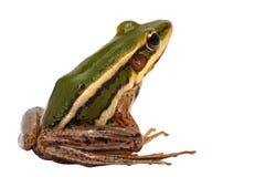 Grön groda Fotografering för Bildbyråer