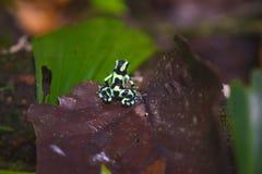 Grön groda för giftpil av Costa Rica fotografering för bildbyråer
