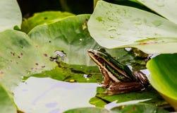 Grön groda i dammet under lotusblommabladet i morgonljus Arkivfoton