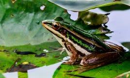 Grön groda i dammet under lotusblommabladet i morgonljus Royaltyfri Bild