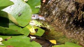 Grön groda i den lilla vattenfallet, Nederländerna arkivfilmer