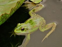 Grön groda i en Lotus Flower Pond arkivfoton