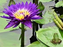Grön groda i en Lotus Flower Pond royaltyfri bild