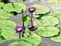 Grön groda i en Lotus Flower Pond royaltyfri fotografi
