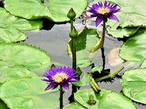 Grön groda i en Lotus Flower Pond royaltyfria foton