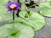 Grön groda i en Lotus Flower Pond royaltyfria bilder