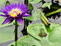 Grön groda i en Lotus Flower Pond arkivfoto