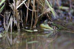 Grön groda i vatten Arkivfoto