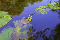 Grön groda i vatten royaltyfria foton