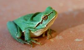 grön groda little Arkivfoton
