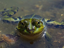 Grön groda på vattnet Arkivbilder