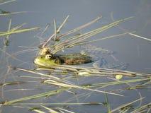 Grön groda som doppas delvist i vatten, på bakgrunden av alger royaltyfri fotografi