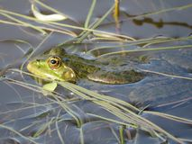 Grön groda som doppas delvist i vatten, på bakgrunden av alger arkivbild