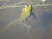 Grön groda som doppas delvist i vatten, på bakgrunden av alger royaltyfri bild