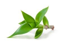 grön grodd Royaltyfria Bilder