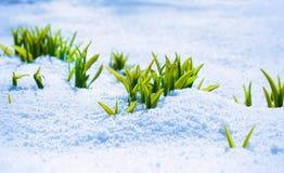 Grön grodd på den starka solen med is och snö Royaltyfria Bilder