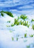 Grön grodd på den starka solen med is och snö Fotografering för Bildbyråer