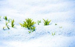 Grön grodd på den starka solen med is och snö Arkivbilder