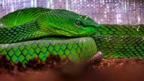grön grophuggorm Arkivbild