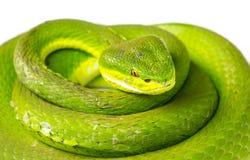 grön grophuggorm Royaltyfri Fotografi