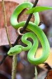 grön gropormhuggorm Royaltyfri Bild