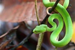 grön gropormhuggorm Fotografering för Bildbyråer
