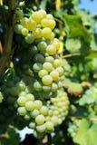 Grön grupp av druvor på vingård Royaltyfria Foton