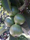 Grön grupp av guavafrukter som hänger på träd royaltyfria bilder