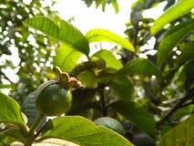 Grön guava på träd med ledning arkivbilder