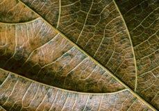 Grön gul bladcloseup Foto för makro för höstbladtextur Torr bladådermodell Trädbladyttersida Royaltyfria Bilder